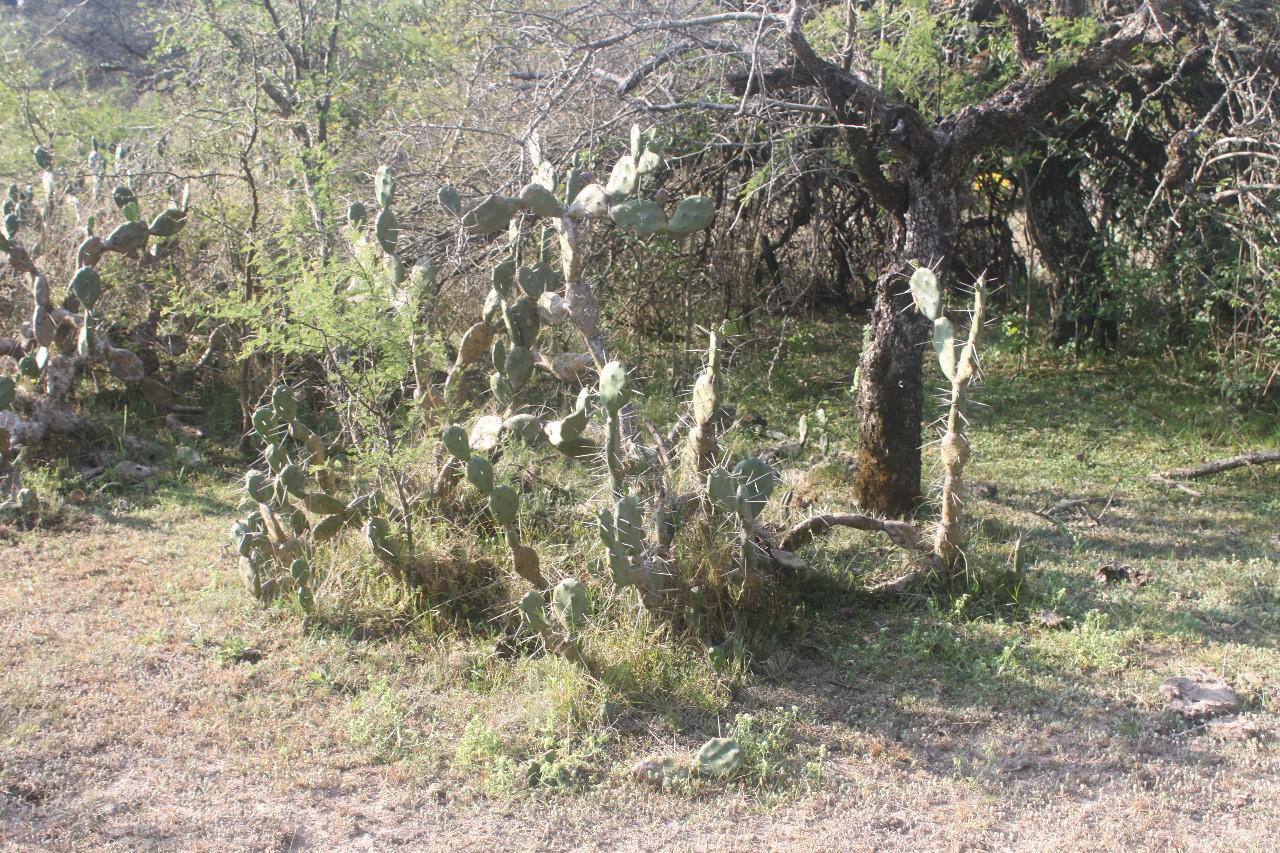 opuntia-planta-en-el-impenetrable 2020-08-21 (02)